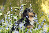 Miniature Long Haired Dachshund Sitting in Bluebells