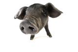 Large Black Piglet