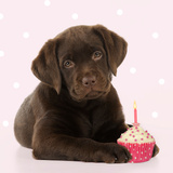 Chocolate Labrador Puppy Laying Down with Cup Cake