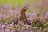 Red Grouse Amongst Heather