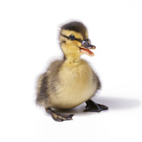 Mallard Duck Duckling at 24 Hours