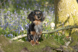 Miniature Long Haired Dachshund in Bluebells