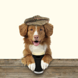 Nova Scotia Duck Tolling Retriever Wearing