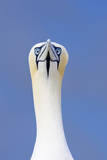 Northern Gannet Face on Portrait Showing Both Eyes