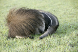 Giant Anteater Resting  Sheltering Young Behind Tail