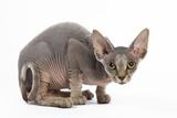Sphynx Kitten 4 Months Old