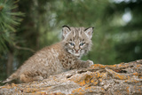 Bobcat Cub Climbing on Rock  1 Month Old