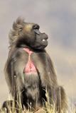 Gelada Baboon Male Sitting