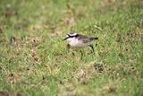 St Helena Sand Plover Only Endemic Landbird
