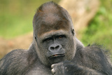 Lowland Gorilla Close-Up of Head