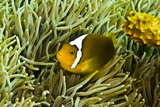 Anemonefish Unusual Hybrid Only Seen in the Png