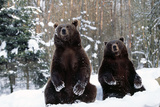 European Brown Bear Two Sitting in Snow