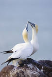 Northern Gannet Pair Crossing Bills as a Greeting
