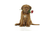Dogue De Bordeaux Puppy Sitting Down Holding a Rose