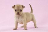 Chihuahua Puppy (6 Weeks)