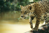 Jaguar Sub-Adult Male Crossing River on Log