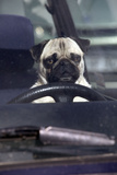 Pug Sitting Behind Wheel of Car