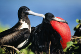 Magnificent Frigatebird X Two  Male and Female
