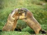 European Marmot X Two
