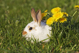 Domestic Rabbit Young with Dandelion