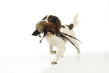 English Springer Spaniel Carrying Pheasant in Mouth
