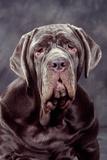 Neapolitan Mastiff Dog Close-Up of Head