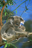 Koala Female and Young in Tree