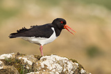 Oystercatcher Calling Out to Mark Territory