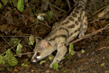 Large- Spotted Genet