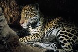 Jaguar Female  with 2 Day Old Cub in Forest Floor