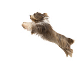 Bearded Collie Leaping in Mid-Air