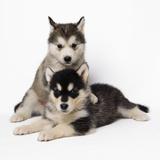Alaskan Malamute Dog Puppies