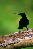 New Caledonian Crow Using Tool to Dislodge Worms