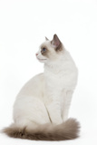 Blue Point White Ragdoll