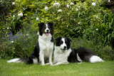 Border Collies Sitting in the Garden