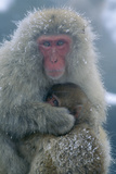 Japanese Macaque Monkey Mother and Baby