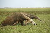 Giant Anteater in the Llanos
