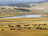 American Buffalo Yellowstone  US