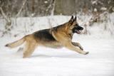 German Shepherd Running Through the Snow