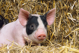 Black and White Piglet in Straw