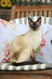 Chocolate Point Siamese Cat Sitting on a Garden Chair