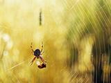 Garden Spider with Prey in Web