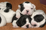 French Bulldog Puppies 10 Days Old