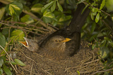 Blackbird Female on Nest with Nestlings