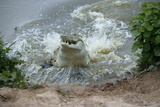 Orinoco Crocodile Female Jumping Out of Water