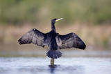 Great Cormorant Male in Breeding Colours Showing