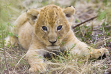 Lion 3-4 Week Old Cub