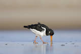 Oystercatcher Probing into the Sand for a Worm