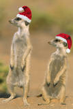 Suricate on Hind Legs Wearing Christmas Hats
