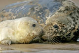 Grey Seal Mother and Newborn Pup Taking Stock